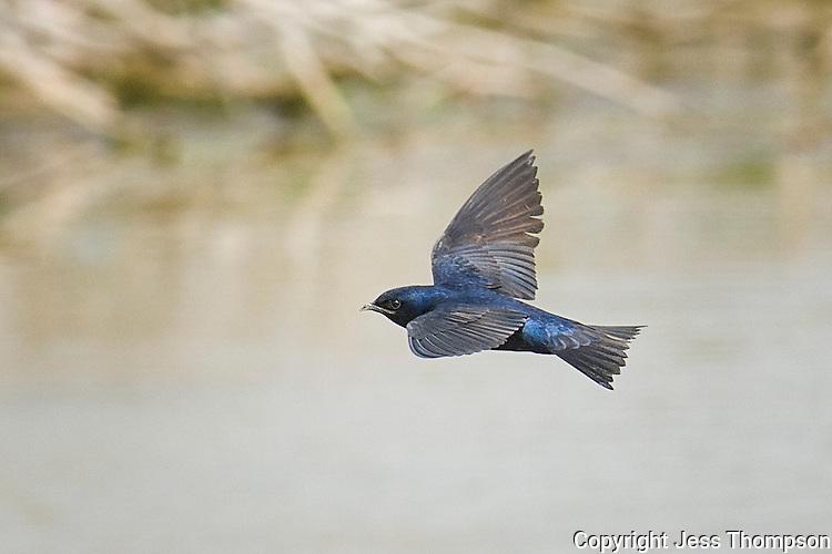 Purple Martin, Estero Llano Grande State Park, Texas