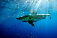 This great white shark [Carcharodon carcharias] was photographed off Guadalupe Island, Mexico.&amp;#xD;<br />