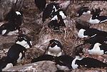 Nesting rockhopper penguins and imperial shags