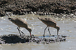 Marbled godwits in mudflats near San Francisco Bay in Hayward