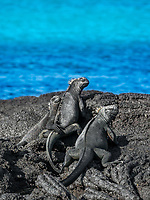 A group of Galapagos iguanas seem to be having a fine day sunning themselves on warm rocks.