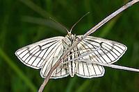 Weißer Linienspanner, Schwarzaderspanner, Hartheuspanner, Schwarzader-Spanner, Hartheu-Spanner, Siona lineata, Scoria lineata, black-veined moth, Spanner, Geometridae, geometer moths, geometers