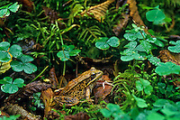 Northern Red-legged Frog (Rana aurora), Pacific Northwest.