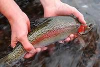 Catch and release rainbow trout fly fishing Montana, presidents pool.