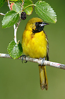 Orchard Oriole - Icterus spurius - 1st summer male