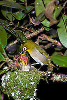 The japanese white eye feed its young, (zosterops japonicus). Originally introduced to hawaii in 1937.