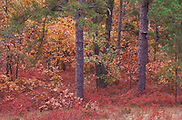 Pine Barrens in Autumn, NJ; Wharton State Forest