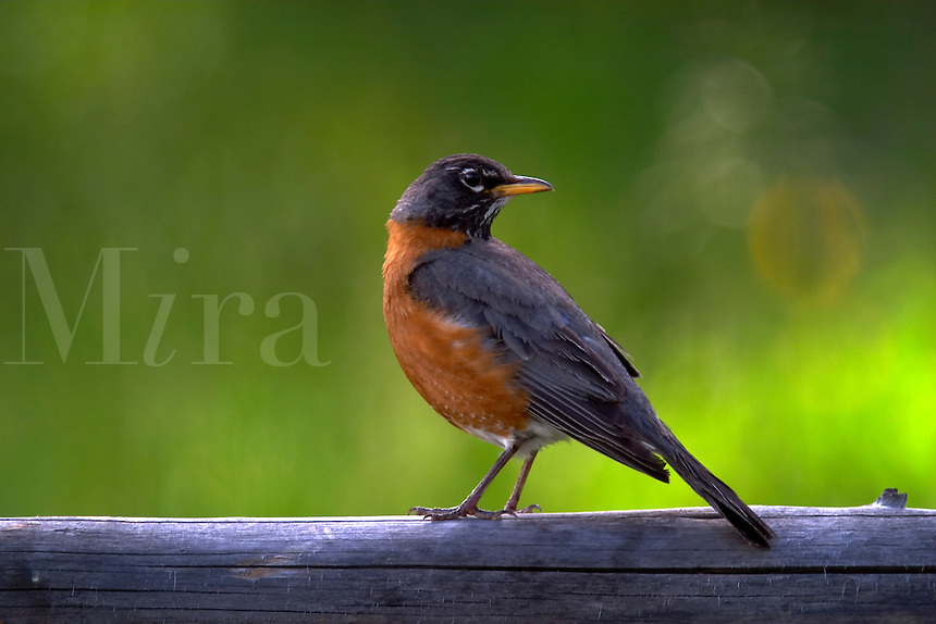 American robin standing on wooden fence railing against green background, Grand Teton National Park, Teton County, Wyoming, USA