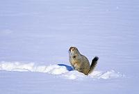 Arctic Ground Squirrel emerges from winter hibernation in the snow covered tundra of the Arctic Coastal Plains, Alaska
