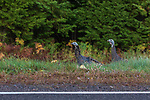 Two hen turkeys walking alongside the highway in northern Wisconsin.