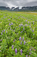 Field of lupine wildflowers in Katmai National Park along Alaska's southwest coast of the Alaska Peninsula, Aleutian mountain range in the distance.