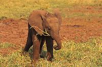 Young african elephant calf (Loxodonta africana) feeding along shore of Lake Kariba.  Matusadona National Park, Zimbabwe.