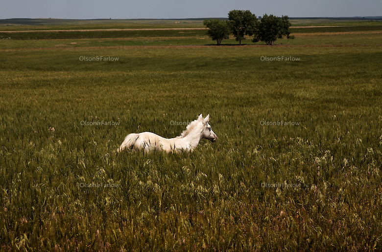 A young white orphan foal named Buttercup explores a meadow of tall grasses in North Dakota.  Karen Sussman of the International Society for the Protection of Mustangs and Burros saved the orphaned foal when her mother died.