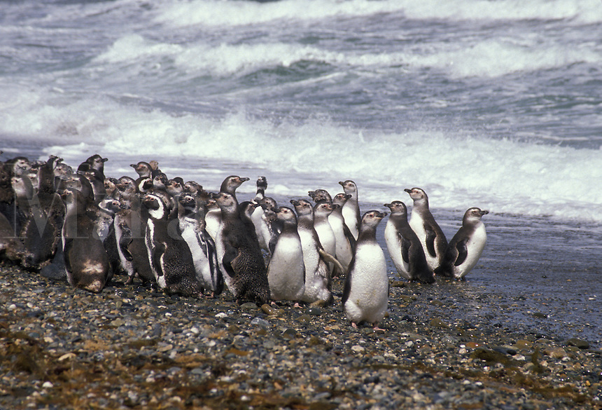 AJ2064, penguins, Patagonia, Chile, A colony of penguins standing along the beach just outside the town of Punta Arenas in Chile.