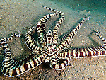 A mimic octopus makes a break for it; sprinting along the bottom directly towards the photographer.<br /> <br /> The mimic octopus was not discovered officially until 1998, off the coast of Sulawesi, Indonesia. This is the only octopus known to mimic the appearance and mannerisms other species.  Mimic octopus have been known to imitate more than fifteen different species, including sea snakes, lionfish, flatfish, brittle stars, giant crabs, sea shells, stingrays, flounders, jellyfish, sea anemones, and mantis shrimp.