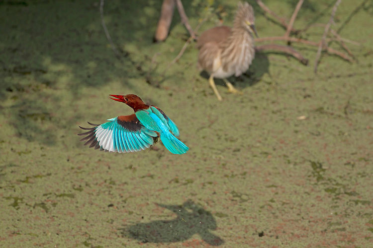 White-throated Kingfisher - Halcyon smyrnensis A large, colourful kingfisher whose range extends from the Middle East to southern Asia.