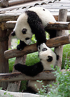 May 3rd 2011_Chengdu, China_ A pair of Giant Panda cubs play in their enclosure at the Chengdu Research Base of Giant Panda Breeding near Chengdu, Sichuan Province.  The Panda Base gets more than 600,000 visitors a year and is the largest Panda breeding facility in the world.  Photographer: Daniel J. Groshong/The Hummingfish Foundation