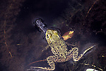 Green frog with dragonfly prey, Rana clamitans