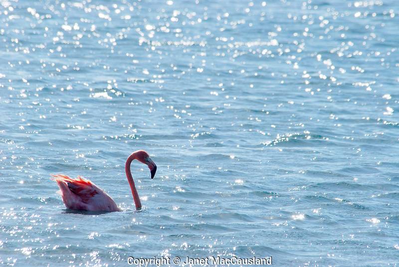 Flamingos of Bonaire