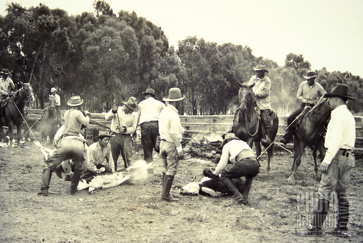 "EDITORIAL ONLY. Old time paniolo, or """"Hawaiian Cowboys,"""" branding cattle.  Parker Ranch, Big Island"