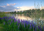 Idaho, North, Panhandle, Kootenai County, Coeur d'Alene. Lupine on the shores of the Spokane River with evening light, at the outlet of Lake Coeur d'Alene.