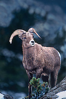 678508544 a wild adult bighorn sheep ovis canadensis forages on a snow covered hillside in yellowstone national park wyoming
