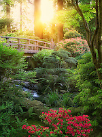 Bridge, stream and blooming Rhododendron. Portland Japanese Garden, Oregon