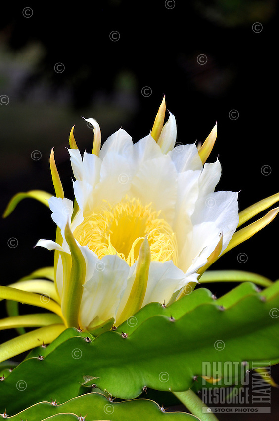 A night-blooming cereus cactus flower before it closes in the morning light.