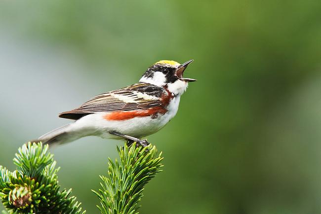 Chestnut-sided Warbler (Dendrocia pensylvanica) in Fraser fir (Abies fraseri) in song, Roan Highlands