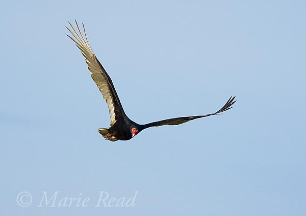 Turkey Vulture (Cathartes aura) in flight, Osceola County, Florida, USA