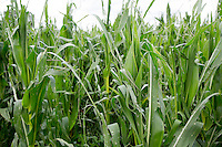 Hail damage to forage maize - Lincolnshire, July
