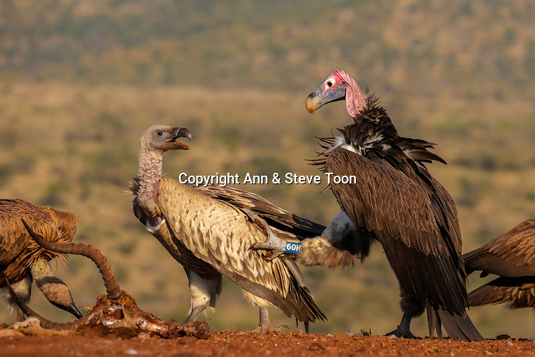 Lappetfaced vulture (Torgos tracheliotos) harrassing whitebacked vulture (Gyps africanus) at carcass, Zimanga private game reserve, South Africa, January 2017