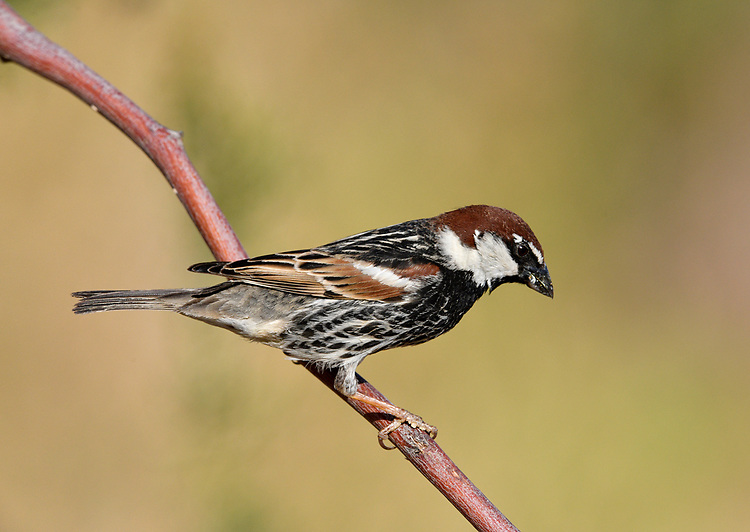 Spanish Sparrow - Passer hispaniolensis<br /> male