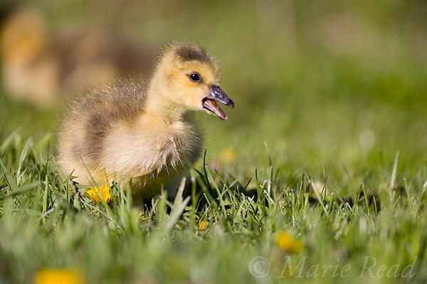 Canada Goose (Branta canadensis) gosling, Ithaca, New York, USA