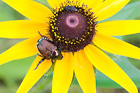 Japanese Beetle; Popillia japonica; on Black-eyed Susan; Rudbeckia hirta; PA, Philadelphia; Wissahickon Park; Houston Meadow;