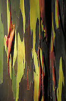 Detail of rainbow eucalyptus bark; some edges rolling up. Hawaii USA Maui Keanae Arboretum.