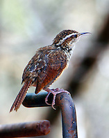 Adult Mexican form Carolina wren