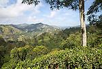 Lush green landscape looking over a tea plantation at Ella, Badulla District, Uva Province, Sri Lanka, Asia