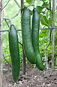 All-female cucumber 'Pepinex' F1 -  a straigthm smooth-skinned variety that can be grown outdoors.
