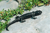 Alpen-Salamander, Alpensalamander, Salamander, Salamandra atra, Salamander, Salamandra atra, European Alpine salamander, salamandre noire, salamandre alpestre, salamandre de montagne
