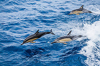 long-beaked common dolphin, Delphinus capensis, leaping, jumping, White Island, North Island, New Zealand, Pacific Ocean