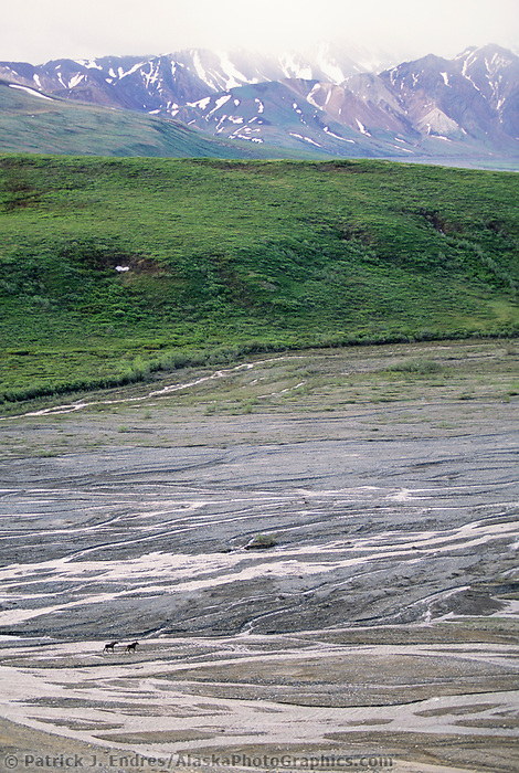 Cow and calf moose cross the braided river of the Toklat river, Denali National Park, Alaska