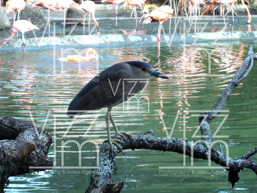 CALI - COLOMBIA, 30-06-2016: Garza Gris, especie de ave presente en el oeste de Cali. / Garza Gris, bird species present in west of Cali Photo: VizzorImage / Dario Ramirez / Cont.