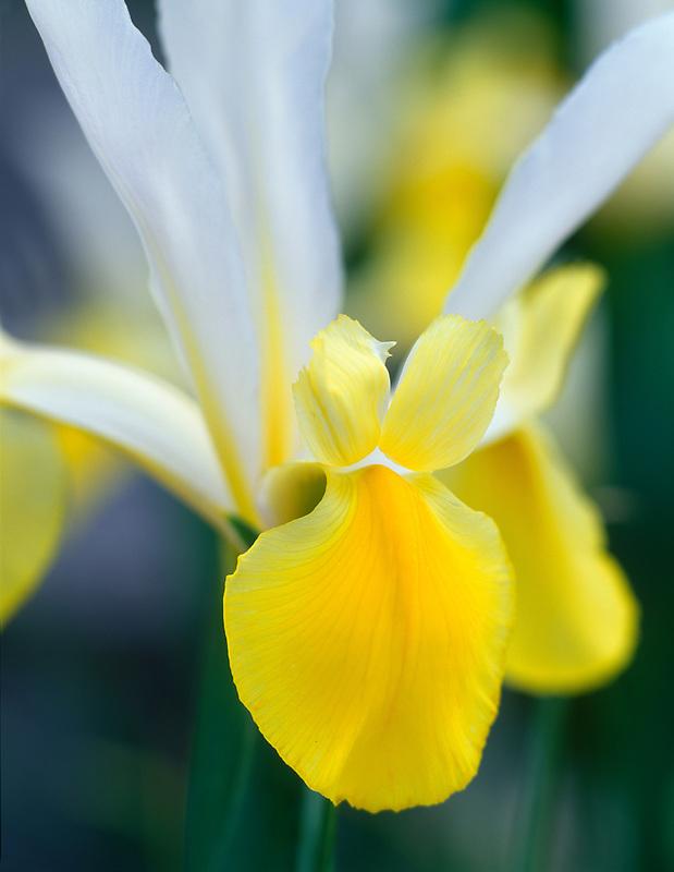 Dutch Iris (Iris 'Angel Wings') VanDusen Botanical Garden. Vancouver, BC