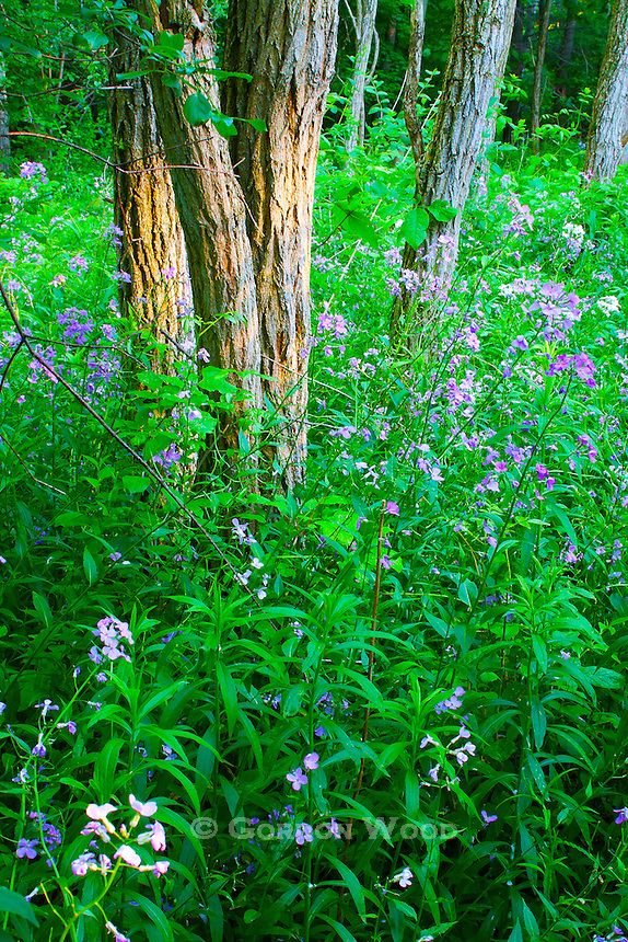 Dames Rocket can be seen throughout Southwestern Ontario in the late Spring. Here it is in a forest in early evening. Painterly effect applied.