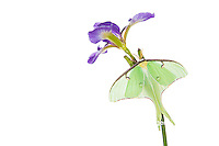 30040-00105 Luna Moth (Actias luna) on Blue Flag Iris (Iris versicolor) on white background, Marion Co., IL
