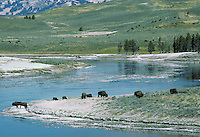Bison herd along Yellowstone River, Wyoming, Fall.