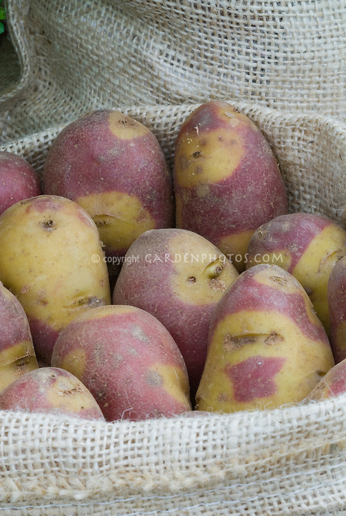 Potatoes 'Mayan Experimental Salad' (Solanum) yellow and red mottled root vegetables in burlap bag