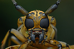 Pictured:  Longhorn Beetle <br /> <br /> A series of spellbinding close-up images of insects make them look like aliens.  Amateur photographer Marcus Kam Seong Sit captured the macro shots of a range of bugs including the longhorn beetle and bird dung spider. <br /> <br /> The pictures detail the intricate features and patterns of the insects - from the vibrant green of a dragon head caterpillar to the delicate hairs on an orb web spider.  SEE OUR COPY FOR DETAILS.<br /> <br /> Please byline: Marcus Kam/Solent News<br /> <br /> © Marcus Kam/Solent News & Photo Agency<br /> UK +44 (0) 2380 458800