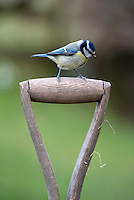 Blue Tit (Cyanistes caeruleus) on a wooden spade handle, Whitewell, Lancashire.